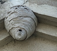 Evergreen Pest Management Wasp and Yellow Jacket Nest Removal and