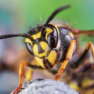 wasp in the yard, evergreen pest management