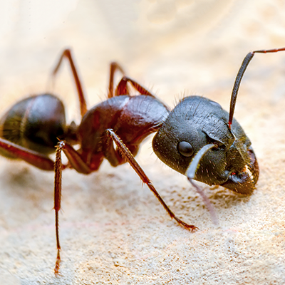 ants in the house, evergreen pest management