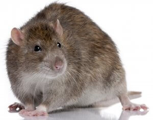 Brown Rat in front of a white background