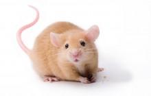 Teddy Bear Mouse